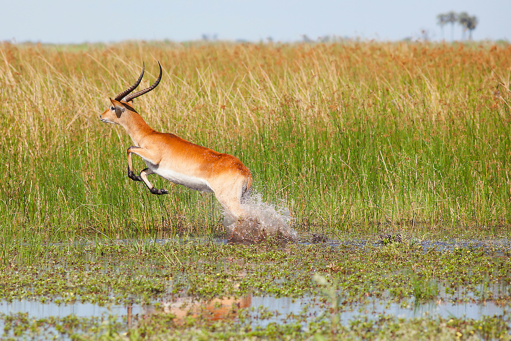 Fast shutter speed image of a Red Lechwe leaping through river reeds, Okavango Delta, Botswana