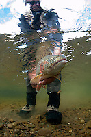 Rainbow Trout about to be released, Kanektok River..Shot in Alaska, USA