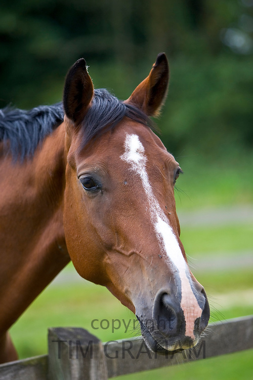 Dutch warmblood horse, Oxfordshire, England