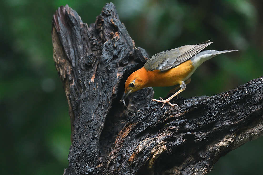 Orange-headed thrush, Zoothera citrina, bird photographed at Tongbiguan nature reserve, Dehong Prefecture, Yunnan Province, China