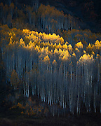 Aspens on fire. Gothic, Colorado.