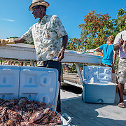 1100 lionfish caught in a single day by 5 teams during the 8th annual Green Turtle Cay Lionfish Derby off Abaco, Bahamas are cleaned for food, if they are large enough.<br />