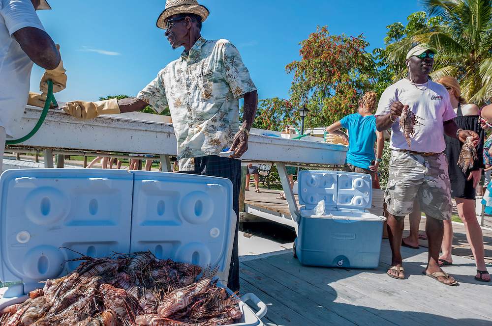 1100 lionfish caught in a single day by 5 teams during the 8th annual Green Turtle Cay Lionfish Derby off Abaco, Bahamas are cleaned for food, if they are large enough, or fed to sharks if not.