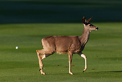 Feb 8, 2012; Pebble Beach CA, USA;  A deer runs across the first fairway past a golf ball during the practice round of the AT&T Pebble Beach Pro-Am at Pebble Beach Golf Links. Mandatory Credit: Jason O. Watson-US PRESSWIRE
