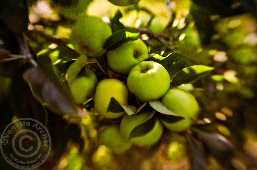 Green apples at Stewart Historic Farm, just ready for picking.