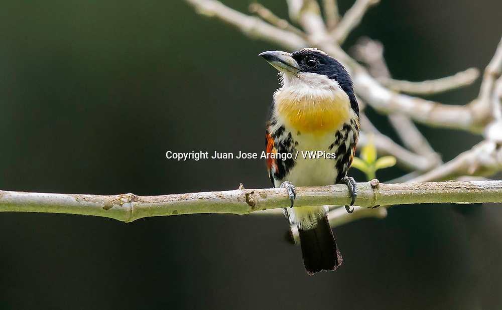 Spot-crowned Barbet (Capito maculicoronatus), Anchicaya, Valle del Cauca