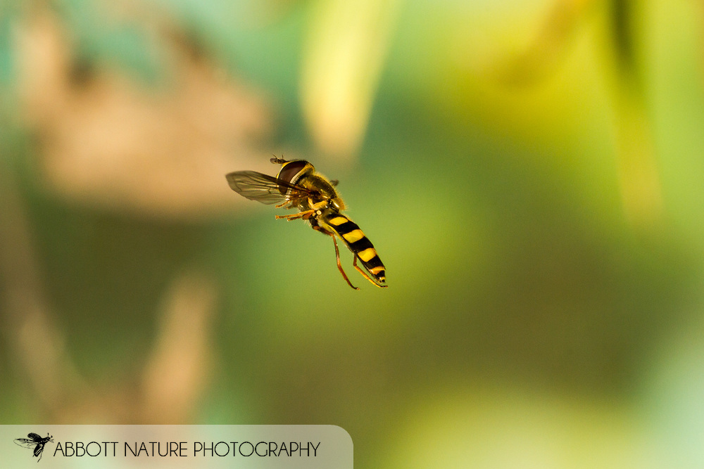 American Hover Fly (Eupeodes americanus/pomus group) flying<br /> United States: Alabama: Tuscaloosa Co.<br /> Tulip Tree Springs off Echola Rd.; Elrod<br /> 28-Dec-2016<br /> J.C. Abbott #2883 &amp; K.K. Abbott