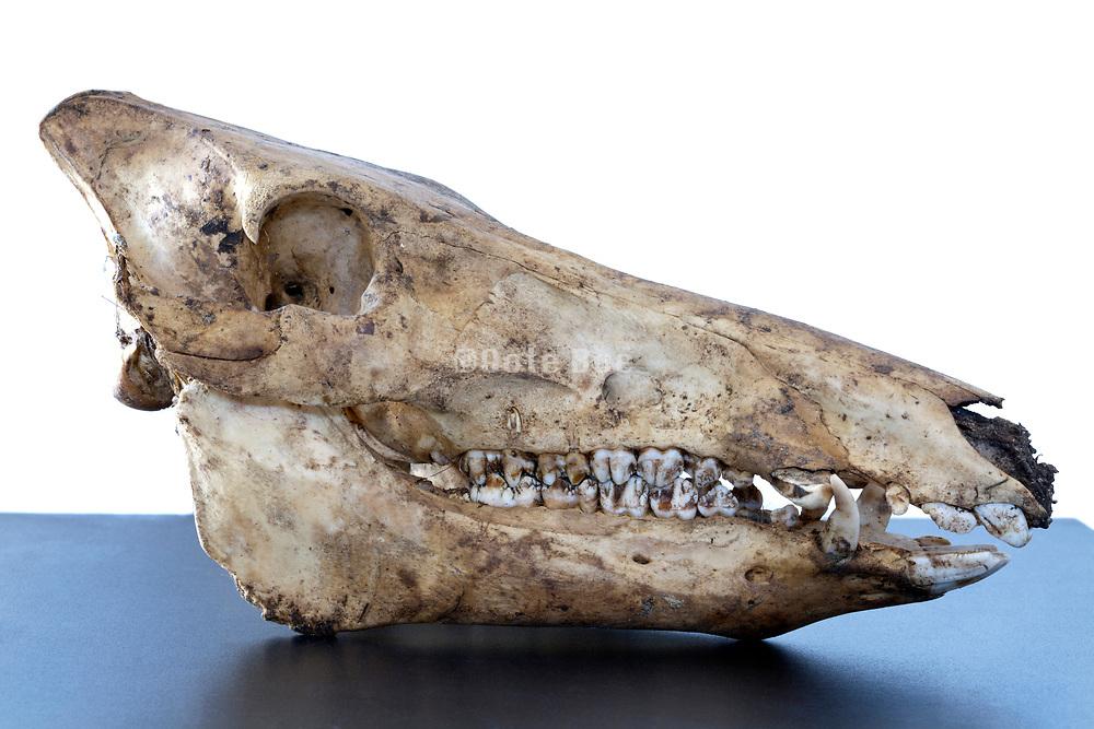 a wild boar skull