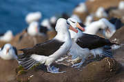 Breeding pair of black-browed Albatross (Thalassarche melanophrys), Saunders Island, the Falklands.