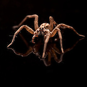Common House Spider photographed on black glass.
