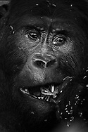 Porträts eines fressenden Silberrückens des Östlichen Flachlandgorillas (Gorilla beringei graueri), Kahuzi-Biega Nationalpark, Süd-Kivu, Demokratische Republik Kongo<br /> <br /> Portraits of an eating silverback of the Eastern Lowland Gorillas (Gorilla beringei graueri), Kahuzi-Biega National Park, South Kivu, Democratic Republic of the Congo