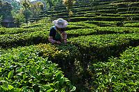 Chine, Province du Yunnan, region de Pu'er, champ de thé, cueillette du thé  // China, Yunnan, Pu'er district, tea field, tea picker picking tea leaves