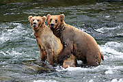 Two Brown bears mate in the Brooks River, at Katmai National Park