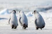 Three Penguin Chicks