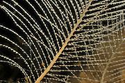 Die Hydrozoe (Kirchenpaueria pinnata) ist weit verbreitet an der Nordwestküste von Norwegen. Viele kleine Polypen bilden hier die Kolonie.