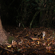 The leopard cat (Prionailurus bengalensis) is a small wild cat native to continental South, Southeast and East Asia. Since 2002 it has been listed as Least Concern on the IUCN Red List as it is widely distributed although threatened by habitat loss and hunting in parts of its range