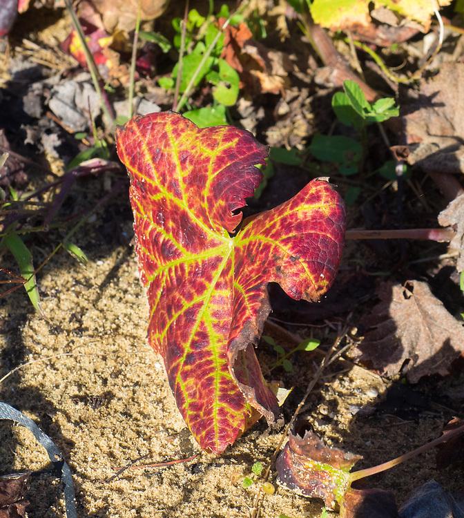Ramisco leaf in fall