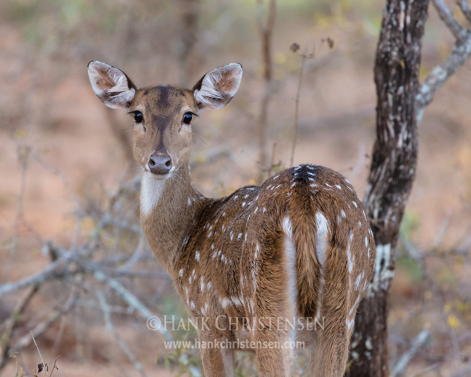 A young chital looks back over its shoulder, Mudumalai National Park, India.