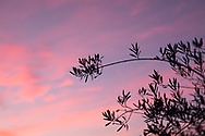 Photo sunset wall art. Santa Monica pink sky, bokeh, purple clouds, olive tree. Matted print, Westside, Venice, Los Angeles, Southern California photography. Fine art photography limited edition.