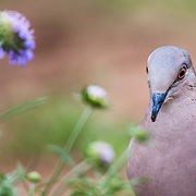 A dove walks through the grass on a south Texas ranch near Alice, Texas.