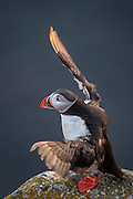 Lundefugl flakser med vingene i Lundeura, Runde | Puffin flapping wings at Lundeura, Runde, Norway.