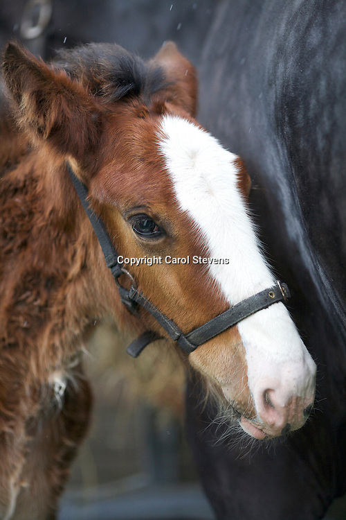 John Cross's Westfield Lucky Charm (s Leverton Oscar) with foal Crossingtons Ophelia (s Metheringham Upton Hamlet)