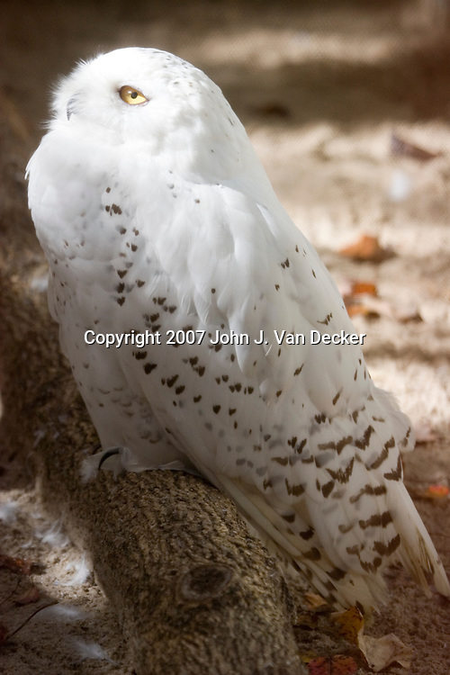 Snowy Owl,  Bubo scandiacus, in full profile......Photo taken at The Raptor Trust, one of the premier, privately funded wild bird rehabilitation centers in the United States. The Raptor trust is recognized as a national leader in the fields of raptor conservation and avian rehabilitation.