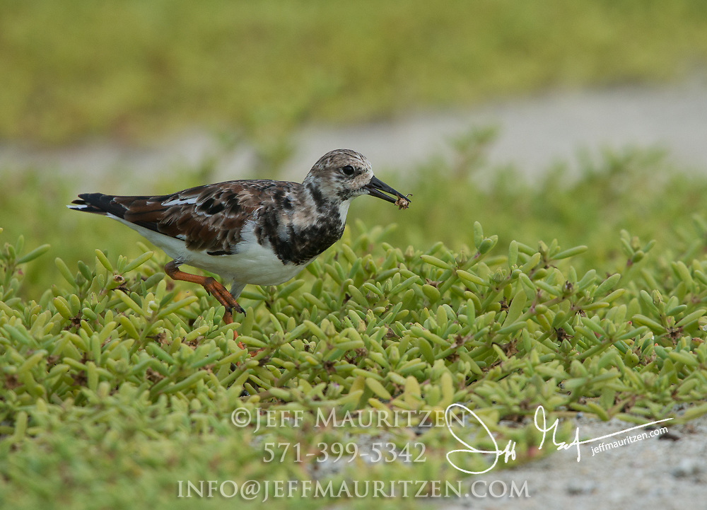 A Ruddy turnstone walks through vegetation with an insect in its bill.