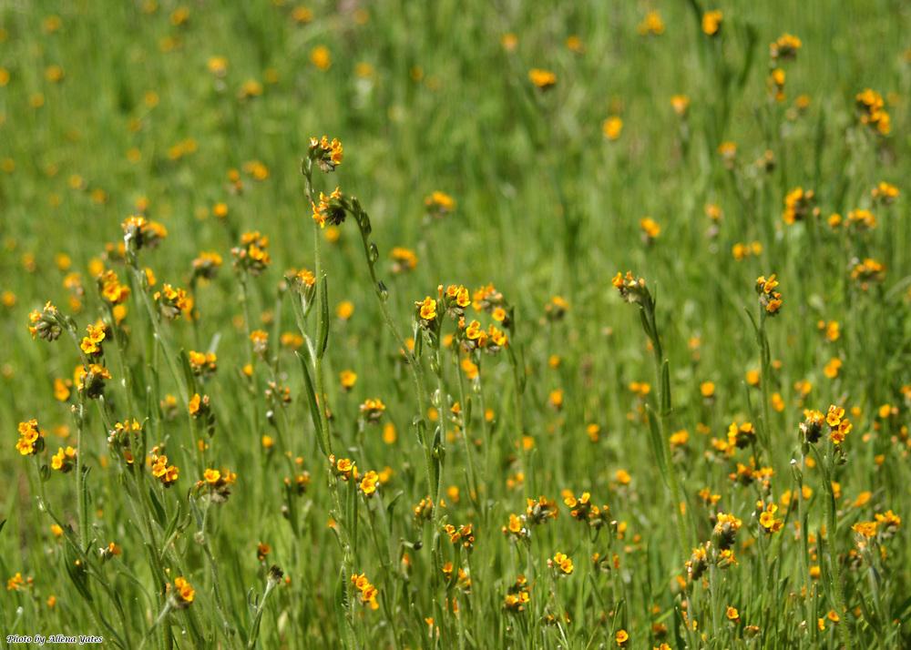 Amsinckia menziesii, Joseph D. Grant County Park, Santa Clara County, CA