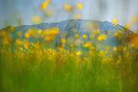 Meadow buttercup (Ranunculus acris) and Monte Vettore, Piano Grande/Sibillini National Park, Italy; WWoE Mission