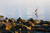 A great blue heron waits as the sun rises over the Pacific Ocean at Vantreight Beach, Victoria, BC