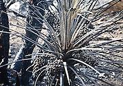 La riserva naturale di Capo Gallo devastata dall'incendio quasi certamente doloso del 16 giugno, dettaglio di una palma nana bruciata.<br /> The nature reserve of Capo Gallo In Sicily destroyed by an arson, detail of a burnt Mediterranean dwarf palm