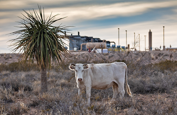Cattle on state land outside Pecos next to an oil and gas industry site.