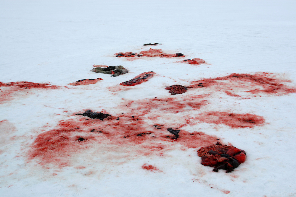 Blood marks of Seals after being skinned by Inuit?s hunters on the ice of Resolute Bay Tuesday June 12 2007..The Inuit?s hunting seals for food, every part of the seals is used or for food or for worm cloth.....