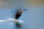 A Double-crested Cormorant (Phalacrocorax auritus) landing.
