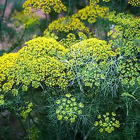 Dill flowers (Anethum graveolens)