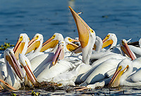 Group of American white pelicans (Pelecanus erythrorhynchos) feeding on fish, Lake Chapala, Jalisco, Mexico