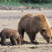 Alaskan Brown Bear, (Ursus middendorffi)  Young cub and mother clamming. Coastal Alaska.