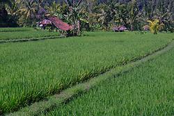 27.07.2014, Bali, IDN, Natur und Sehenswuerdigkeiten in Indonesien, im Bild Reisfeld in Zentralbali, Munduk, Bali, Indonesien. EXPA Pictures © 2014, PhotoCredit: EXPA/ Eibner-Pressefoto/ Schulz<br /> <br /> *****ATTENTION - OUT of GER*****