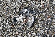 Nederland, Lent, 19-8-2018Dode dieren . een duif in staat van ontbinding op de oever van de Waal.Foto: Flip Franssen
