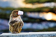 A monkey trying to drink with a disposable cup in Shimla, Himachal Pradesh, India