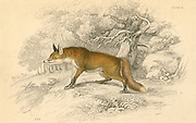 Common or Red Fox (Vulpes vulpes), native of the Old World.   A dog fox. From 'British Quadrupeds', W MacGillivray, (Edinburgh, 1828), one of the volumes in William Jardine's Naturalist's Library series. Hand-coloured engraving.