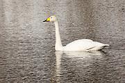 JAPAN, Eastern Hokkaido.Whooper swan (Cygnus cygnus)