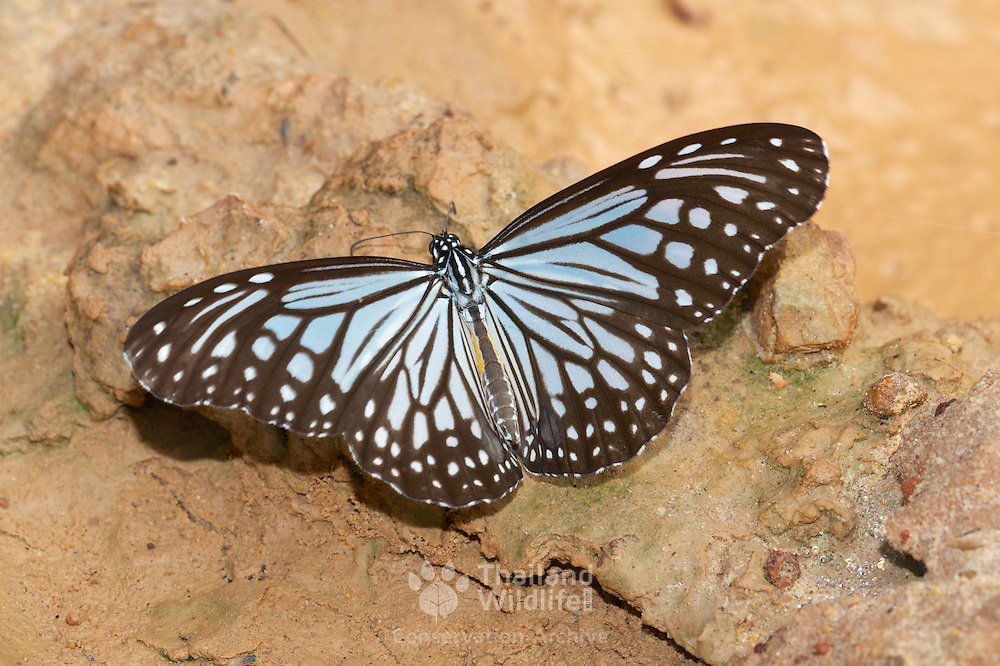 The Dark Glassy Tiger (Parantica agleoides) is a butterfly that belongs to the Crows and Tigers, that is, the Danaid group of the Brush-footed butterflies family.