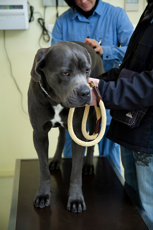 Examination dog(Cannis Familaris) Cane Corso by veterinarian. France