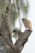 Barred owlets leave the nest at approximately 4 weeks of age. For the next month, they are fed by their parents as they hop from branch to branch in preparation for flight.