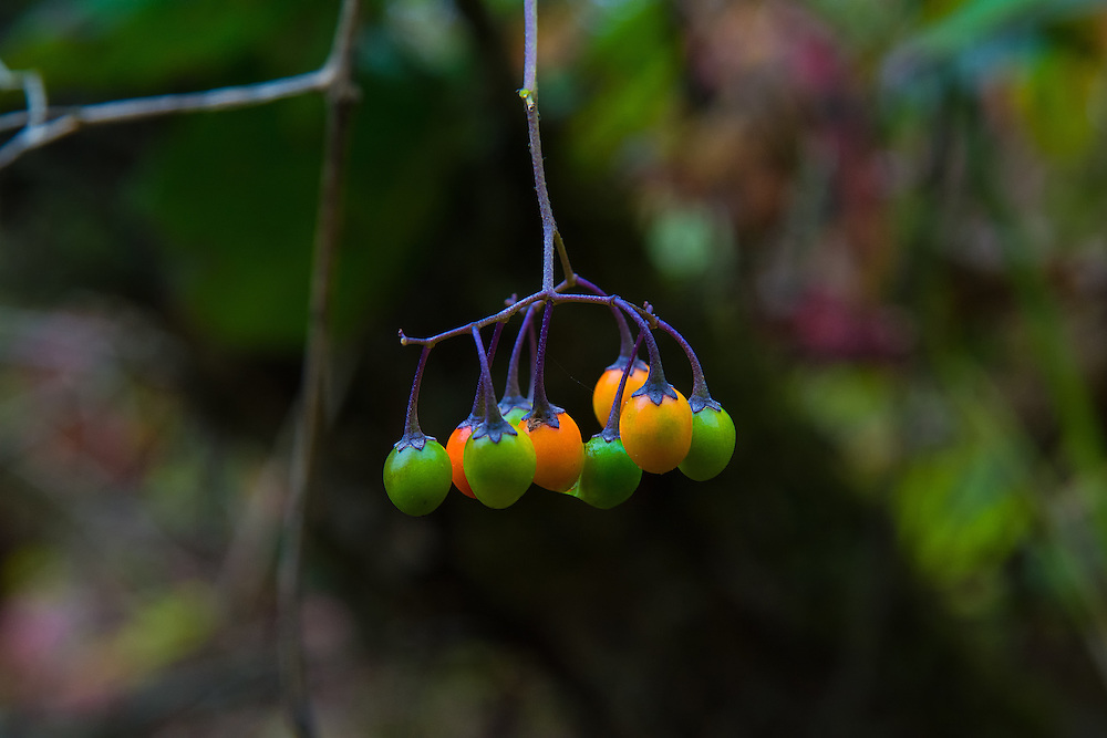 These very beautiful bittersweet nightshade berries found ripening on the vine are native to Europe and Asia, and arrived roughly in the 1860's and were used by the Makah Indians as a medicine for stomach issues. Now naturalized throughout most of North America, this relative to the potato is an invasive weed that can grow in huge thickets and can compete with native plants. This plant is known to be VERY DANGEROUS to both humans and other animals and has caused people to die. It is said that once the berries are fully ripe (when they are bright red) that the amount of solanine - the toxic alkaloid, is greatly reduced. Seeds are spread by the common song sparrow and a few other birds that eat them, who are unaffected by the poisons the berries carry.