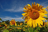 Sunflowers and Fall Colors - To View Or Order Prints, Click On Picture