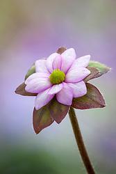 Hepatica acutiloba × Hepatica transsilvanica Pink