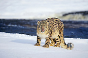 Snow leopard in winter snow (c/c)